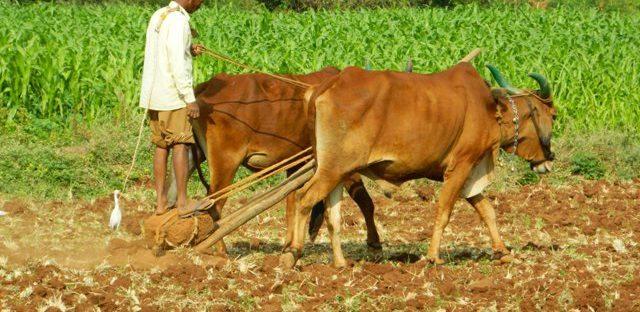 organic farming india oxen driven
