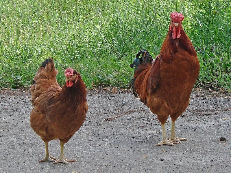 poultry breeds india