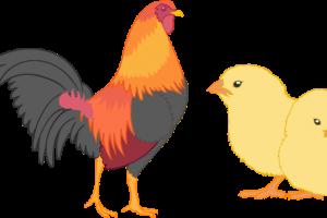 desi birds