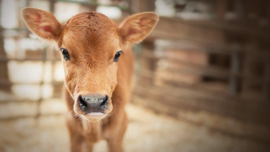 calf_farmer junction