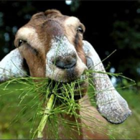Profile picture of Raj Goat Farms